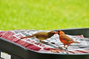 male feeding female cardinal (2) (640x427)