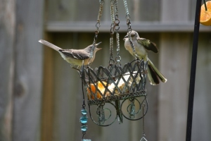 mockingbird, mouth open (640x427) (2)