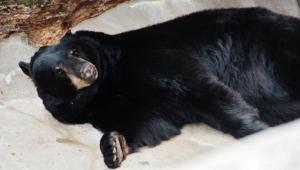black bear (640x364) (2)