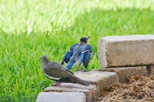 blue jay spreading wings (1280x853)