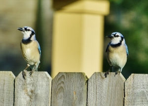 blue jays in love (640x462)