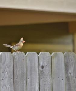 female cardinal profile outside535x640)