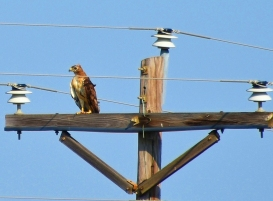 hawk closeup on electric pole