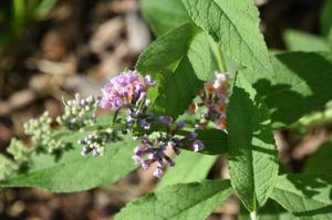 kaleidoscope butterfly bush (1280x853)