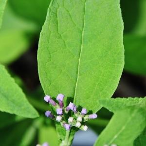 kaleidoscope butterfly bush purple 012 (640x640)