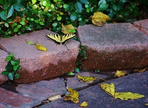 yellow leaves and yellow butterfly tiger swallowtail (2) (640x470)