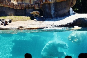 1 underwater big splash polar bear (800x533)