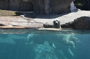 front view polar bear (800x533)