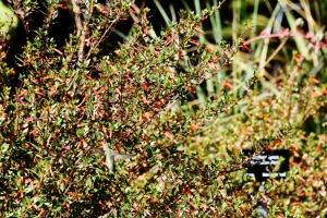 hummingbird, firecracker (1024x683)