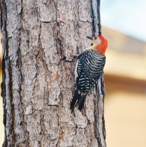 sunset and red-bellied woodpeckers 031 (791x800)