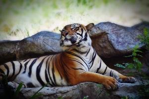 tiger eyes closed (1280x853).jpg vignette
