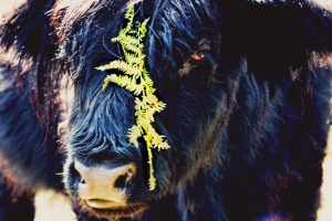 black Highland cow portrait with brachen darkened bracken (640x427)