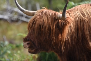 closeup of Highland Cow portrait red (640x427)