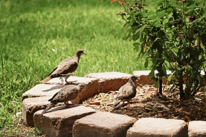 dove mother and two juveniles (800x533)