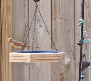female cardinal1 020 (800x713)