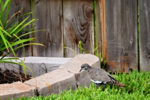 juvenile doves close up 006 (800x534)