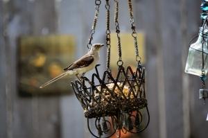 juvenile doves close up 013 (800x533)