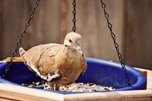 juvenile doves close up 050 (800x533)