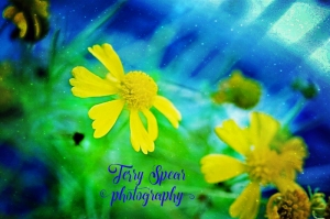 yellow flowers with blue background text (800x533)