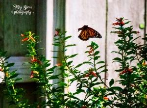 butterfly in flight 4000, 3f, dusk 007 upside down, text 900x600