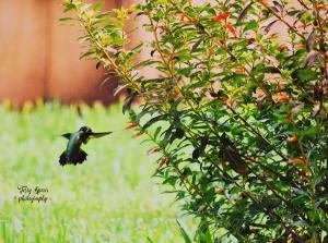 hummingbird 2500 iso, 4000 shutter, 5.6 f 003 brighter cropped. 900x600psd