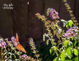 50mm-900-orange-butterfly-on-butterfly-bush-051