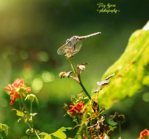 butterfly-and-dragonfly-added-roses-and-sun-900-005