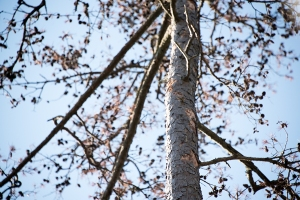 dead-pine-tree-001