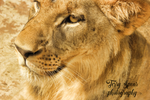 golden-lion-portrait-640x427