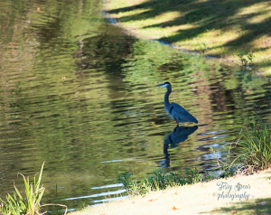 great-blue-herron-900-076