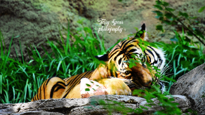 tiger-chewing-on-bone-900-cropped-5082