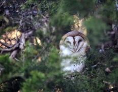 barn-owl-asleep-800x626