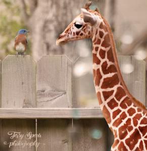 bluebird-baby-giraffe-900-bokeh-004