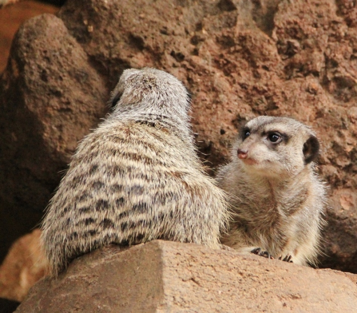 friends-meerkats-800x701