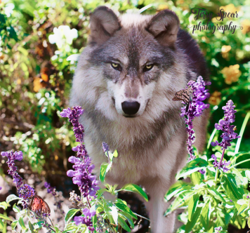 purple-salvia-and-gray-wolf-900-007-simplify