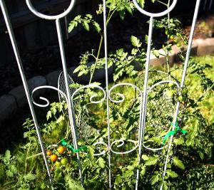 tomato-plant-900-044