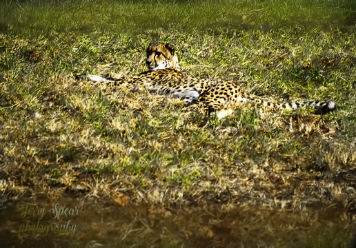 cheetah-540-lying-down-in-grass-color-blast-841
