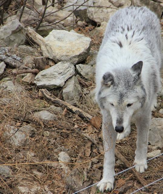 arctic-wolf2-538x640