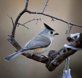 closeup-titmouse-900-553