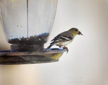 goldfinch-seed-in-beak-900-052