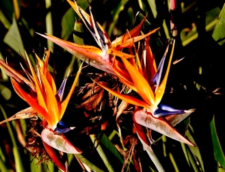 birds-of-paradise-800x613
