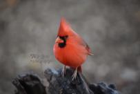 closeup-cardinal-male-900-oil-paint-535