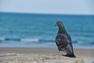 closeup-dove-ocean-in-background-800x534