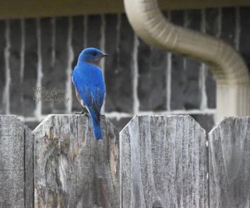 daddy-blue-bird-900-053