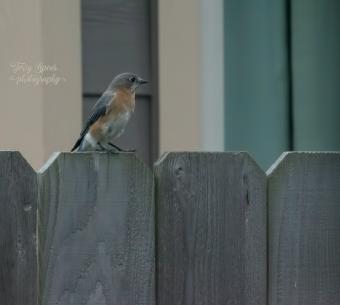 momma-blue-bird-900-078