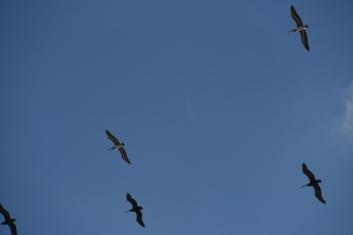 pelicans-800x534