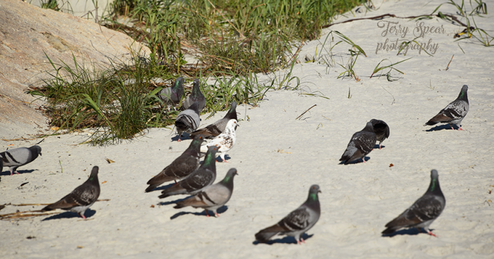 pigeons-daytona-beach-900-080