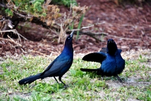 ravens-courting-800x534-2