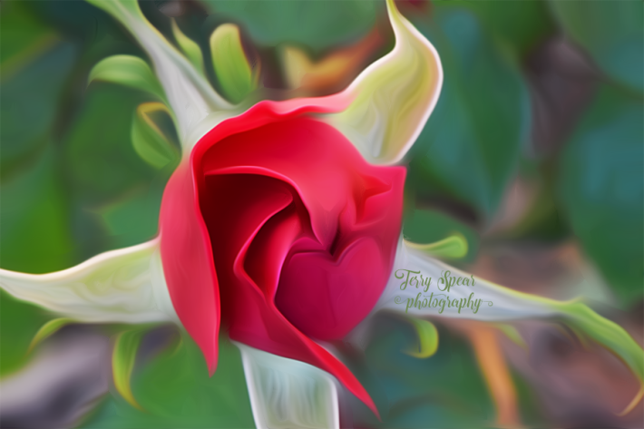 rose-with-perfect-heart-900-_8738