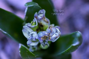 blue hyacinth 900 _9478